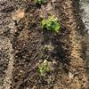 カボチャを植え付けました