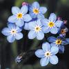 今日の誕生花「ワスレナグサ」園芸種が出回ってるが日本固有種の花!