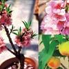 おもしろそうな鉢植え果樹