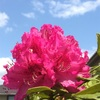 RhododendronとPaeoniaceae