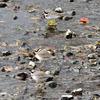 黒目川のイカルチドリ