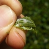 お茶の葉を食べる害虫「チャノコカクモンハマキ」について