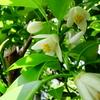 柚子の花のジャム