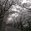 桜を惜しむ頃