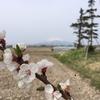 桜と岩木山を望む『からんころん温泉』平川市
