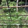 【家庭菜園】今日のゴーヤ(2017年06月07日)  伸びてきた‼️