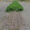 長畝おおまさりの収穫