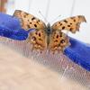 枯れはそっくりの蝶キタテハ。秋型は冬を越すためさらに枯葉にそっくり!