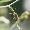 ブチヒメヘリカメムシ