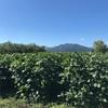 毛豆 初収穫のタイミング