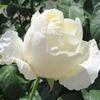 公園のバラ6