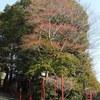 宝塚神社のクロガネモチ Ilex rotunda