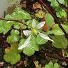 春が来て大文字草の花ひとつ