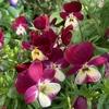 赤紫&白のパステルカラーのコントラスト! ビオラ「春ららら」(&「朝焼けのラビリンス」)