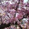 今年の大阪造幣局の「桜の通り抜け」はどんな感じ? 天満橋から行ってみました!