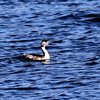 手賀沼を泳ぐカンムリカイツブリ