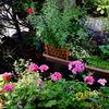 五月後半 わが家の花たち