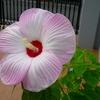 アメリカ芙蓉開花