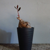 「Phyllanthus Mirabilis」