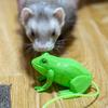 うちのフェレットたちは跳ねるカエルのおもちゃに興味が無いようです