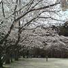 神社と川に桜を見に行く