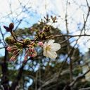 神戸サクラ通信その4「開花宣言いたします。兵庫県公館が一番咲き!」