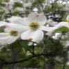 (紹介:植物)新宿中央公園じゃぶじゃぶ池のところでハナミズキを見つけた