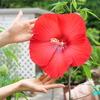 タイタンビカス《フラリエ#1》 ― 人の顔ほどの大きさの花 ―