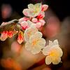 梅の花 その三(散歩写真)