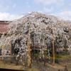 圓立寺の桜が満開になりました。