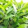 茎から枝へ 柔らかい葉から硬化した葉へ…