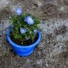 ネモフィラに似合う植木鉢の色