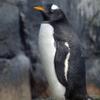 ジェンツーペンギンの亜種のこと。