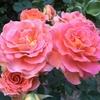 うちのバラがキレイに咲いている(*^_^*) 2016/06/12