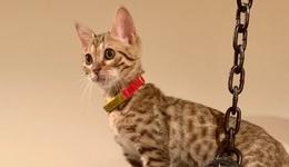 ねこ向けスマートバンド!? IoT首輪「Catlog」を使って子猫の活動データを24時間記録!:ななみんのIoTおうちハック