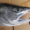朝獲りピチピチ新鮮な秋鮭!! 午前七時に漁師さんからいただきました!!