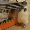 烏骨鶏の雄、満1歳になるランチャンの様子 。顔や、足の指など