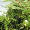 新たな陰生植物クレピドマネスを導入してみた 〜育て方・増やし方は?〜