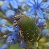 花粉を食べる、コアオハナムグリ & アジサイの挿し木