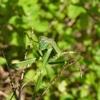 猫から救ったカマキリは英語で言うとマンティスだった。Praying mantis