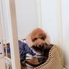 犬のトイレトレーニングとオムツ。我が家の方法。