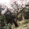 虎尾桜〔第787歩〕