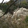 「マダム倶楽部」活動報告 満開のハクモクレン 金立公園と四季の丘 3月16日