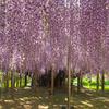 春の北関東お花めぐり 舘林つつじが丘公園・あしかがフラワーパーク
