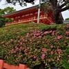 八坂神社のサツキ、見頃や開花状況。
