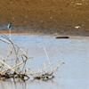 利根川で魚を捕るカワセミ