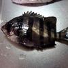 【雑記】 防波堤でイシダイを釣りました