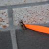 玄関にちっちゃな虫。よく見るとカマキリっぽい。カメラで撮った姿は黒い全長2センチ足らずの黒いカマキリ