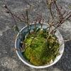 ミニバラを植え替えました。適期をのがしたかも。