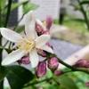 【レモン】花の特徴と花言葉について〜今年も庭のレモンが開花しました!〜